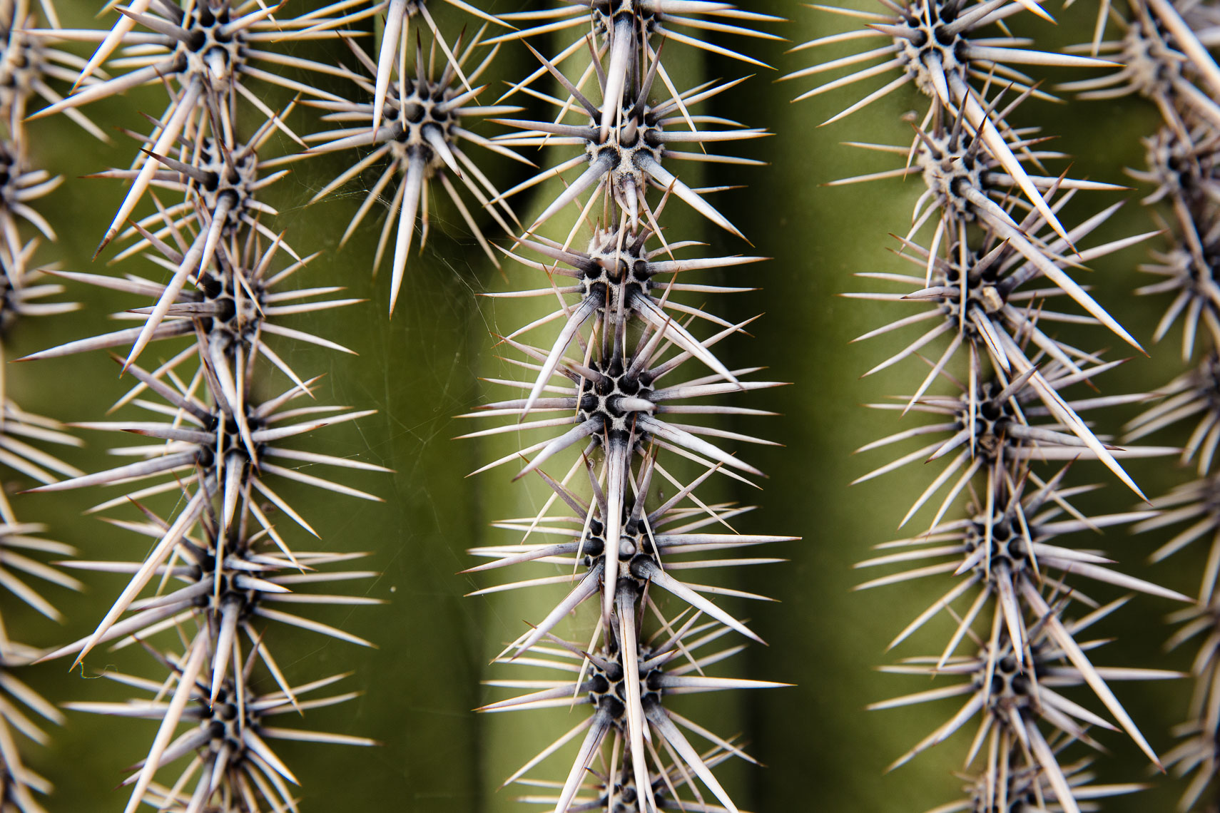 Saguaro Cactus Close Up
