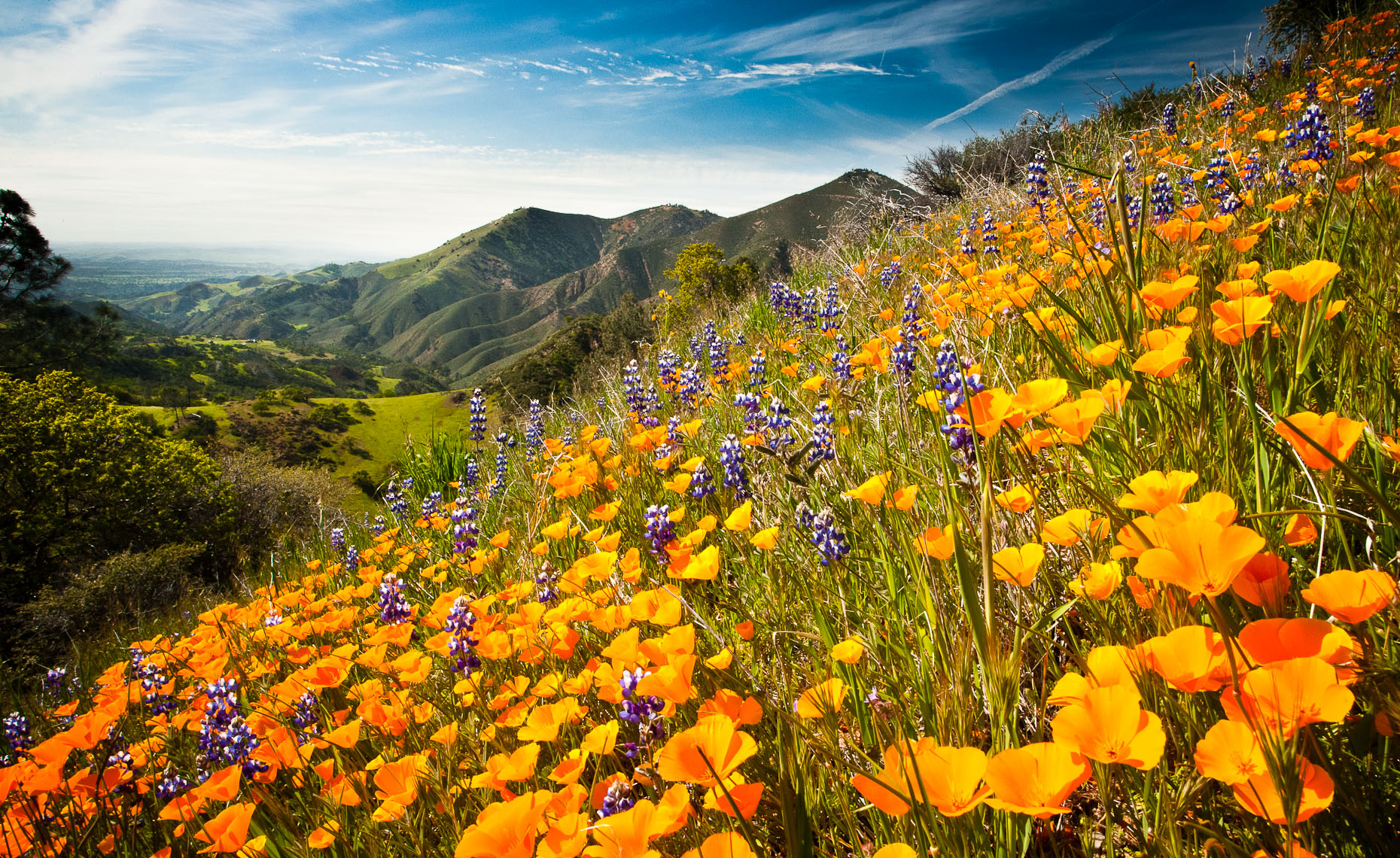 Wildflower Bloom - Figueroa Mountain
