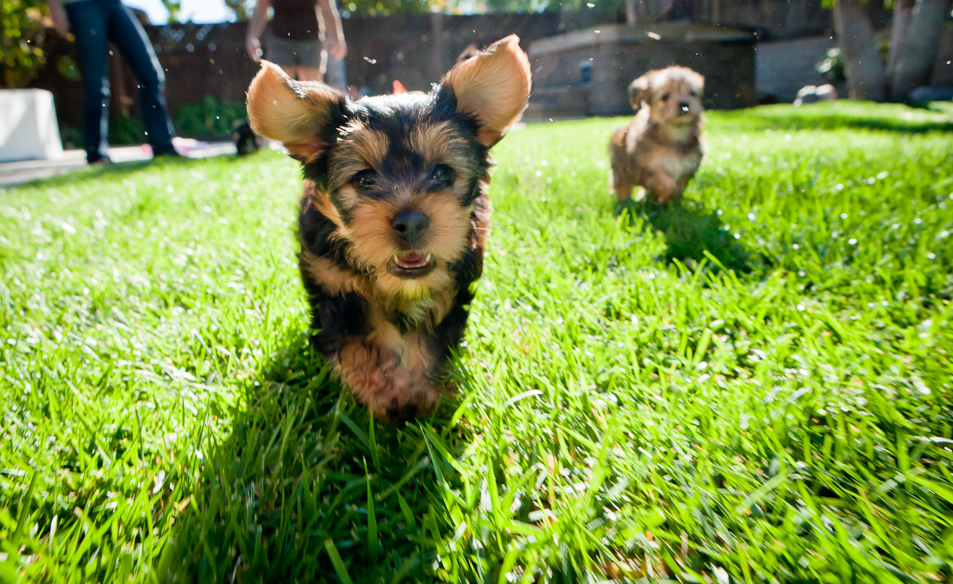 Puppies - Carpinteria